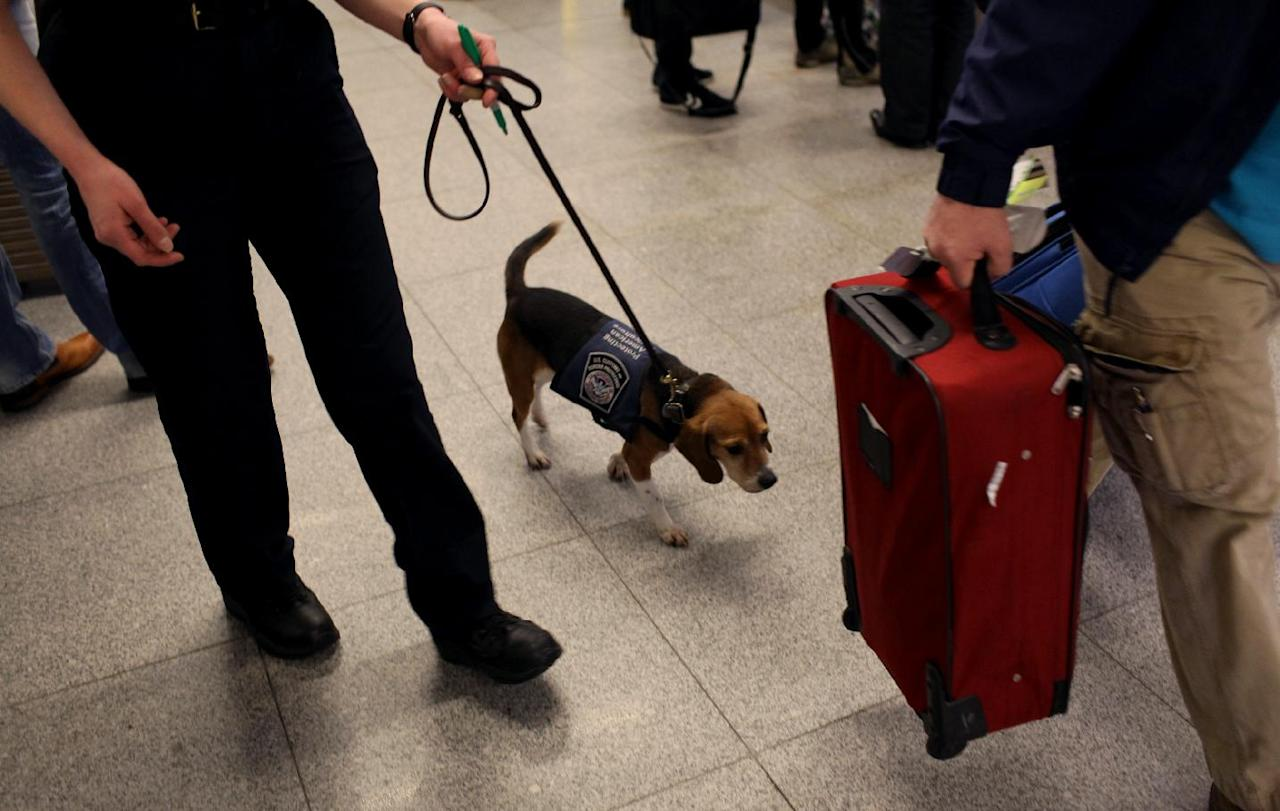 In this Feb. 9, 2012 photo, Meghan Caffery, a U.S. Customs and Border Protection Agriculture Specialist, works with Izzy, an agricultural detector beagle whose nose is highly sensitive to food odors, as the dog sniffs among incoming baggage and passengers at John F. Kennedy Airport's Terminal 4 in New York. This U.S. Customs and Border Protection team works to find foods and plants brought in by visitors that are considered invasive species or banned products, some containing insects or larvae know to be harmful to U.S. agriculture. (AP Photo/Craig Ruttle)