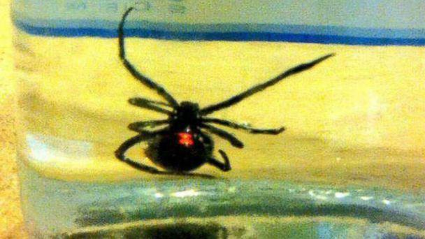 HT black widow spider ml 131107 16x9 608 Michigan Family Uncovers Black Widow Spider in Store Grapes