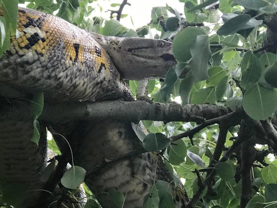 The 10ft python was rescued from the tree