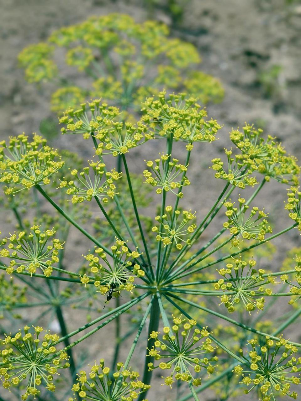 """<p>Although dill is an annual, it drops so many seeds after flowering that it will pop up again the following spring. The flowers have a showy, lacy texture that attract pollinators. It's best used to flavor salads, pickles, and fish dishes. </p><p><a class=""""link rapid-noclick-resp"""" href=""""https://www.johnnyseeds.com/herbs/herbs-for-salad-mix/fernleaf-dill-seed-921.11.html"""" rel=""""nofollow noopener"""" target=""""_blank"""" data-ylk=""""slk:SHOP NOW"""">SHOP NOW</a></p>"""