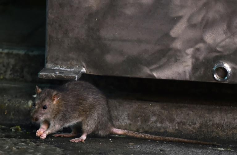 A rat near Tokyo's Tsukiji fish market, which is soon to close after 83 years -- an event expected to unleash a mass exodus of tens of thousands of the rodents