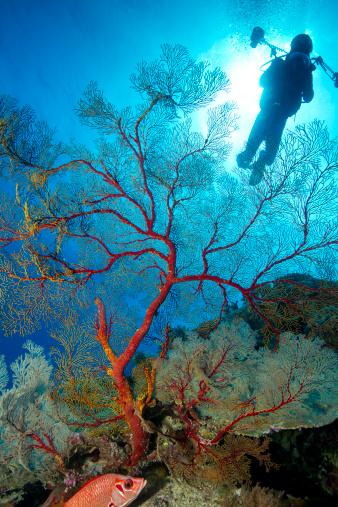 Tubbataha Reefs Natural Park. A World Heritage Site. 97,030 hectare marine park, home to 600 species of fish and 360 species of coral, nesting hawksbill and green sea turtles, and 7 species of seabird. This octocoral is representative of healthy marine life.
