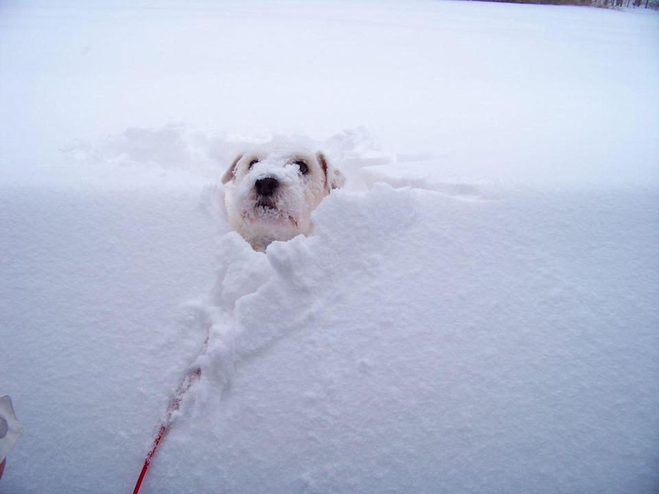 <p>Just when you thought dogs couldn't be any cuter, this photo shows up of a dog practically sinking in a large snow bank. This is definitely one worth printing out for a daily smile. </p>
