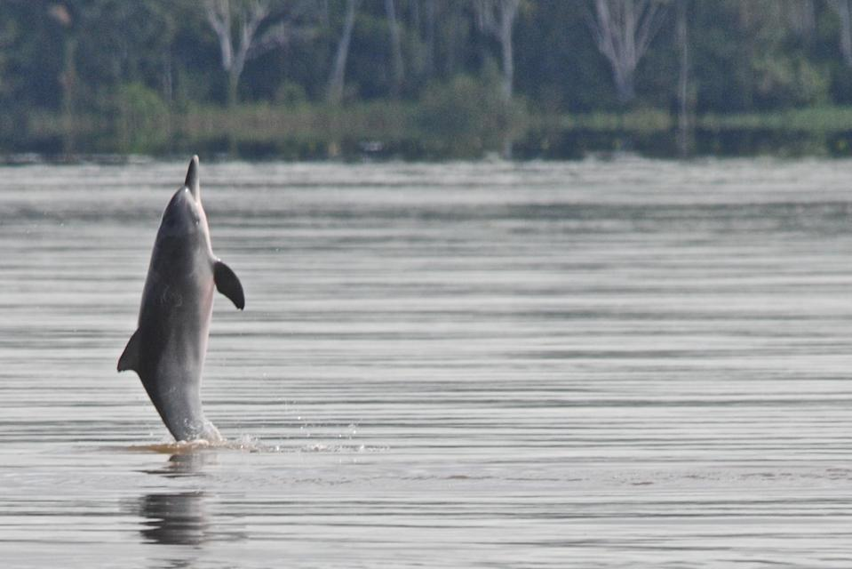 Tucuxi River Dolphin (Sotalia fluviatilis), also known as gray bufeo or black bufeo. (Photo by: Kike Calvo/Universal Images Group via Getty Images)