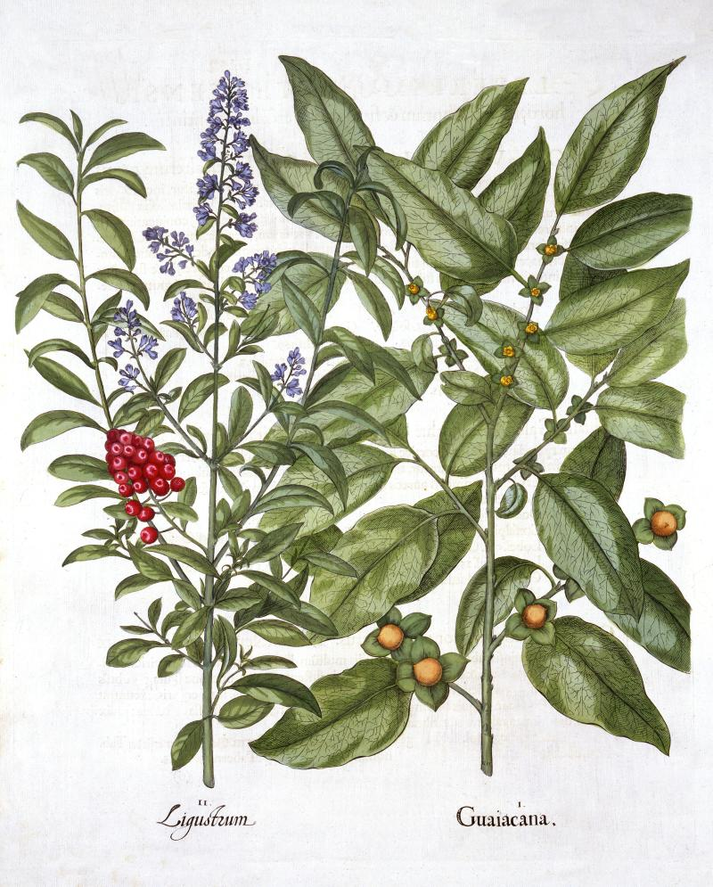 Guaiacum and Chinese Privet, from 'Hortus Eystettensis', by Basil Besler (1561-1629), pub. 1613 (han I Guaiacana; Guaiacum used against syphilis, gout and rheumatism - but is in fact an Asian Ebenaceae aka Date Plum: II Ligustrum; Poisonous berries once used for blue and black dye; Besler was an apothecary in Nuremberg and was in charge of the gardens of the Prince Bishop near Eichstat;. (Photo by Historica Graphica Collection/Heritage Images/Getty Images)