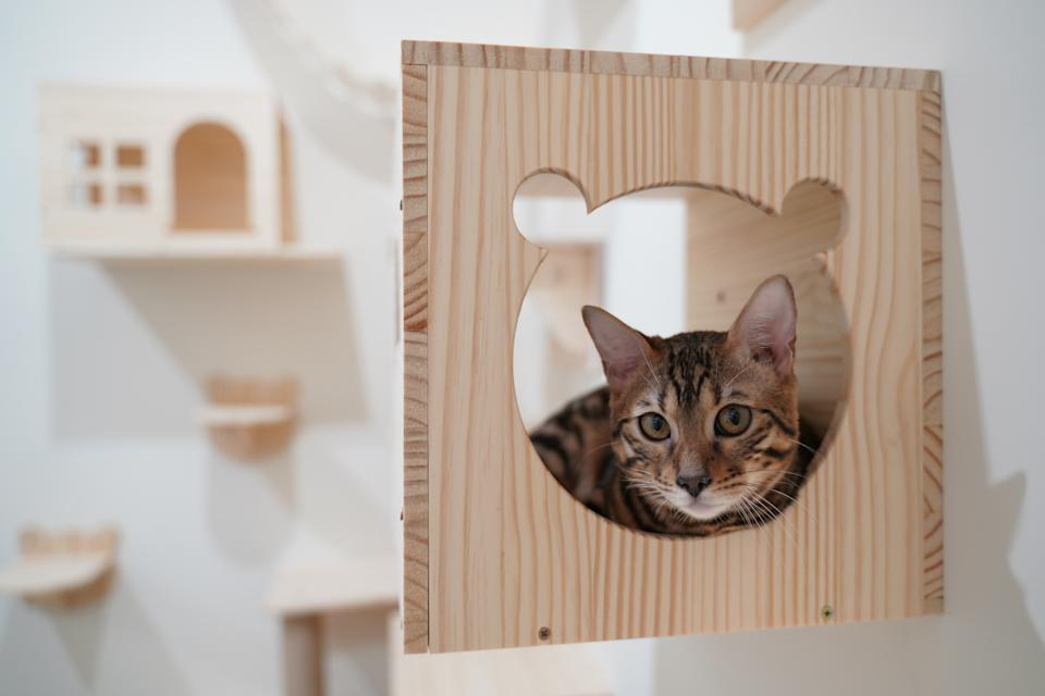 Bengal cat sitting in the wall haning wooden box fo climbing activity