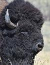 An American bison (Bison bison), a wildlife host susceptible to the bacterial disease Brucellosis, is seen in an undated photograph
