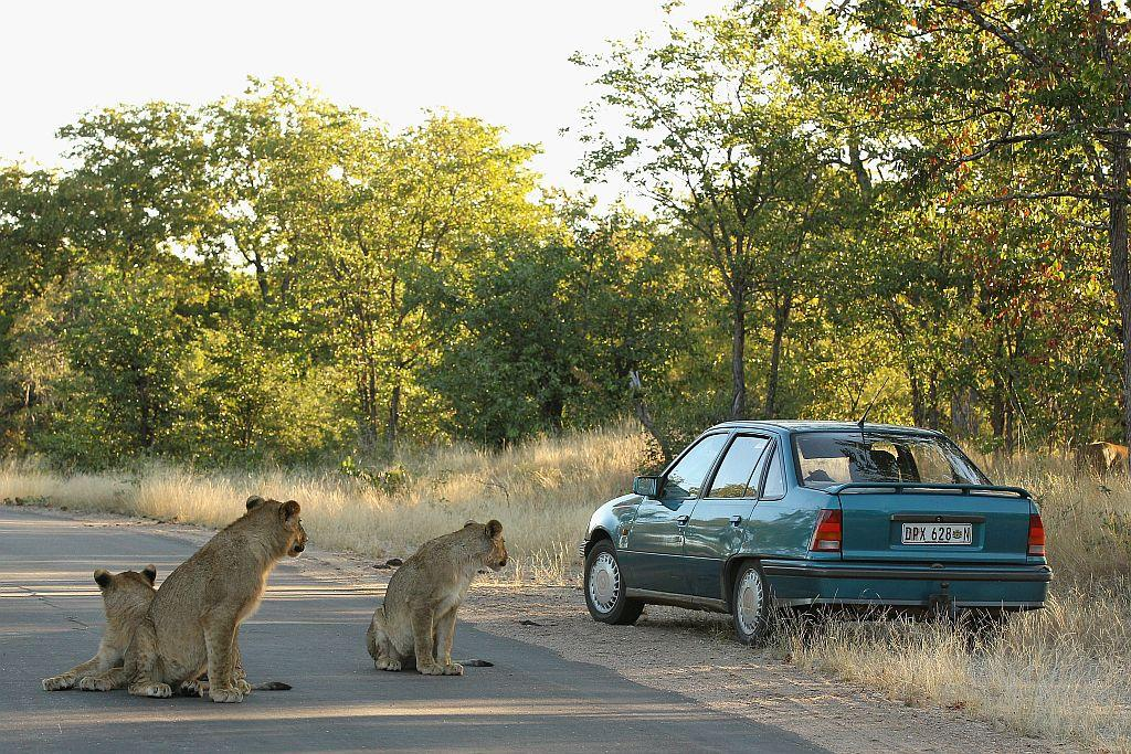 A car drives off a road to avoid three young lions at the Pafuri game reserve in Kruger National Park, South Africa.