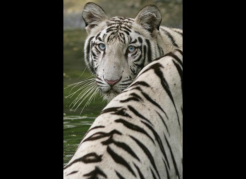 A White Tiger stands in a pool in an enclosure at The Zoological Park in New Delhi, 28 July 2007. White tigers are individual specimens of the ordinary orange tiger (Panthera tigris), with a genetic condition that causes paler colouration of the normally orange fur (they still have black stripes). The 214 acres National Zoological Park established in 1959 in the Indian capital is a home to more than 2000 species of animals and birds from Africa, America, Australia and Asia. AFP PHOTO/ MANAN VATSYAYANA (Photo credit should read MANAN VATSYAYANA/AFP/Getty Images)
