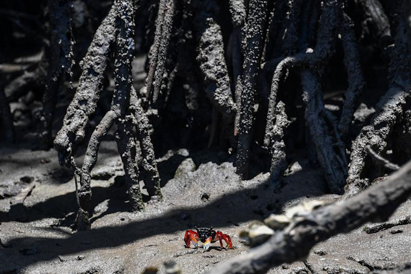 A crab walks at a mangrove, in Cabo de Santo Agostinho, Pernambuco state, in Brazil, on October 31, 2019. - Fishermen affected by oil spills in the beaches of Brazil, help clean the coastal ecosystem, which is essential for the survival of numerous species and of families who depend on fishing. (Photo by NELSON ALMEIDA / AFP) (Photo by NELSON ALMEIDA/AFP via Getty Images)