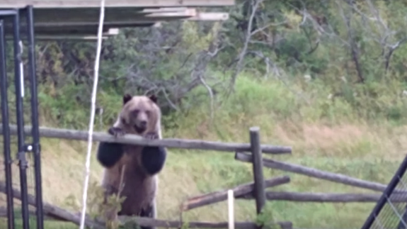 Group of hungry grizzly bears terrorize Canadian family