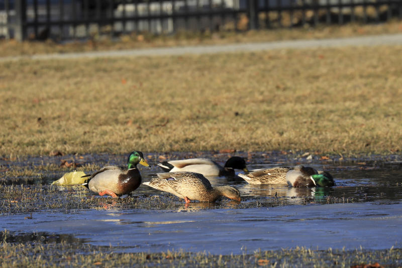 In this Wednesday April, 3, 2019 photo Mallards feed in a puddle of melted snow on the Delaney Park Strip ,in Anchorage. Much of Anchorage's snow disappeared as Alaska experienced unseasonably warm weather in March. (AP Photo/Dan Joling)