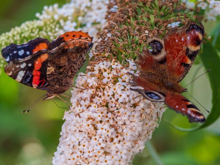 A Peacock butterfly (right) and a Red Admiral on a buddleia bush. Both species are under increasing threat from a warming climate and habitat loss (Getty Images/iStockphoto)