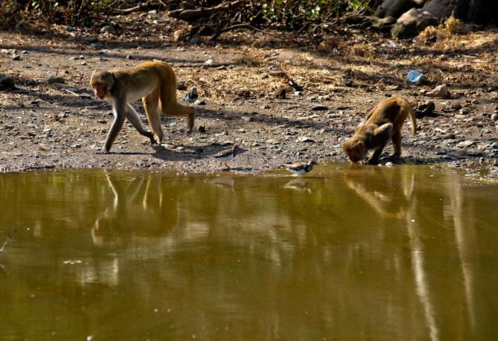 <p>A monkey takes a sip from a pool of water in Cayo Santiago, known as Monkey Island, in Puerto Rico on Oct. 4, 2017. (Photo: Ramon Espinosa/AP) </p>