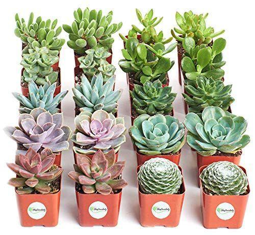 """<p><strong>Shop Succulents</strong></p><p>amazon.com</p><p><strong>$39.99</strong></p><p><a href=""""https://www.amazon.com/dp/B01LXPI743?tag=syn-yahoo-20&ascsubtag=%5Bartid%7C10050.g.2973%5Bsrc%7Cyahoo-us"""" rel=""""nofollow noopener"""" target=""""_blank"""" data-ylk=""""slk:Shop Now"""" class=""""link rapid-noclick-resp"""">Shop Now</a></p><p>Who doesn't want another succulent in their home? With this set, you'll have enough for each and every one of your girlfriends—and then some.</p>"""