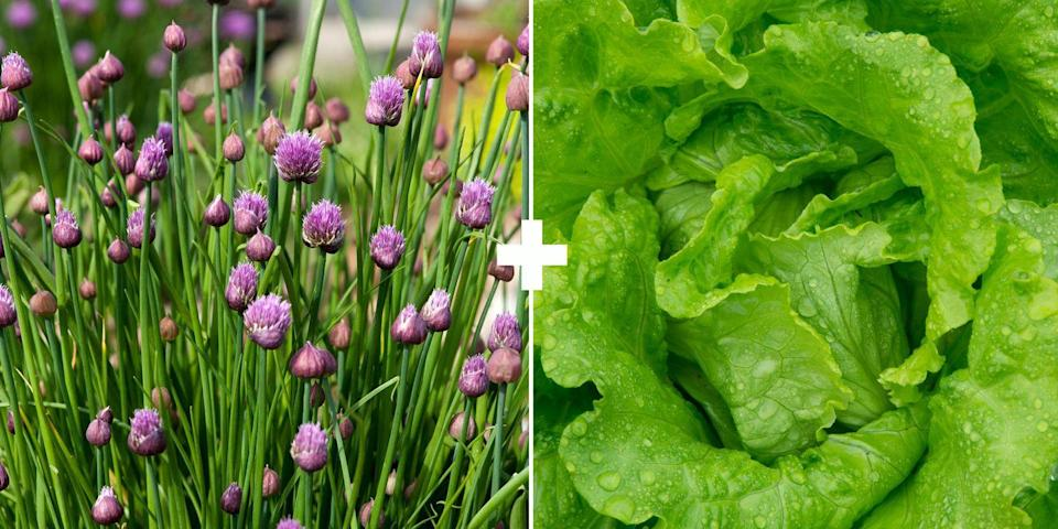 <p>Aphids steer clear of smelly plants like chives or garlic, so try it near your lettuce. Or add alyssum nearby to bring in the beneficial insects, says Stross. <br></p>