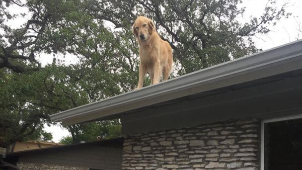 PHOTO: Dog named Huckleberry becomes star for hanging on owner's roof in Austin, Texas. (Twitter/@starstrickenSF)