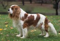 """<div class=""""caption-credit""""> Photo by: MARY BLOOM</div><div class=""""caption-title"""">Cavalier King Charles Spaniel</div><a href=""""http://www.vetstreet.com/dogs/cavalier-king-charles-spaniel"""" rel=""""nofollow noopener"""" target=""""_blank"""" data-ylk=""""slk:Cavaliers"""" class=""""link rapid-noclick-resp"""">Cavaliers</a> love to be in a lap and will claim yours in a flash as soon as you sit down. Aptly nicknamed the """"Love Sponge,"""" Cavaliers were bred to be companion dogs, and that's what they want to do. You'll never have privacy in the bathroom again if you live with a Cavalier. A Cavalier will dog your footsteps and make it clear that he does not wish to be left alone all day. The ideal home for this doe-eyed dog is one with a stay-at-home parent or work-at-home spouse, or with a retired couple."""