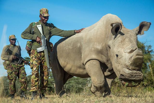 Sudan, a northern white rhinoceros, is protected by armed guards John Mugo and Daniel Maina at Ol Pejeta Conservancy on June 25, 2015, in Laikipia County, Kenya.