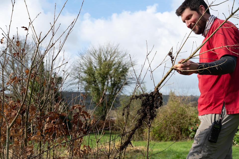 Ranger Steve De'ath lifts a young oak tree grown from acorns collected on site for a new hedge at Buckland Abbey, Devon