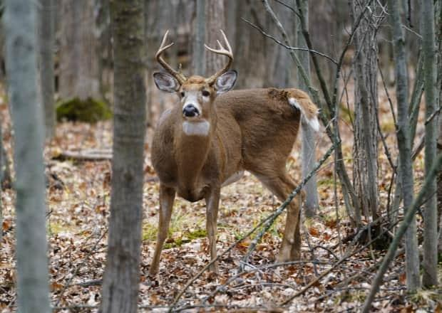 Police in Chatham-Kent say they responded to three deer collisions in the same hour on Thursday. (Paul Chiasson/The Canadian Press - image credit)