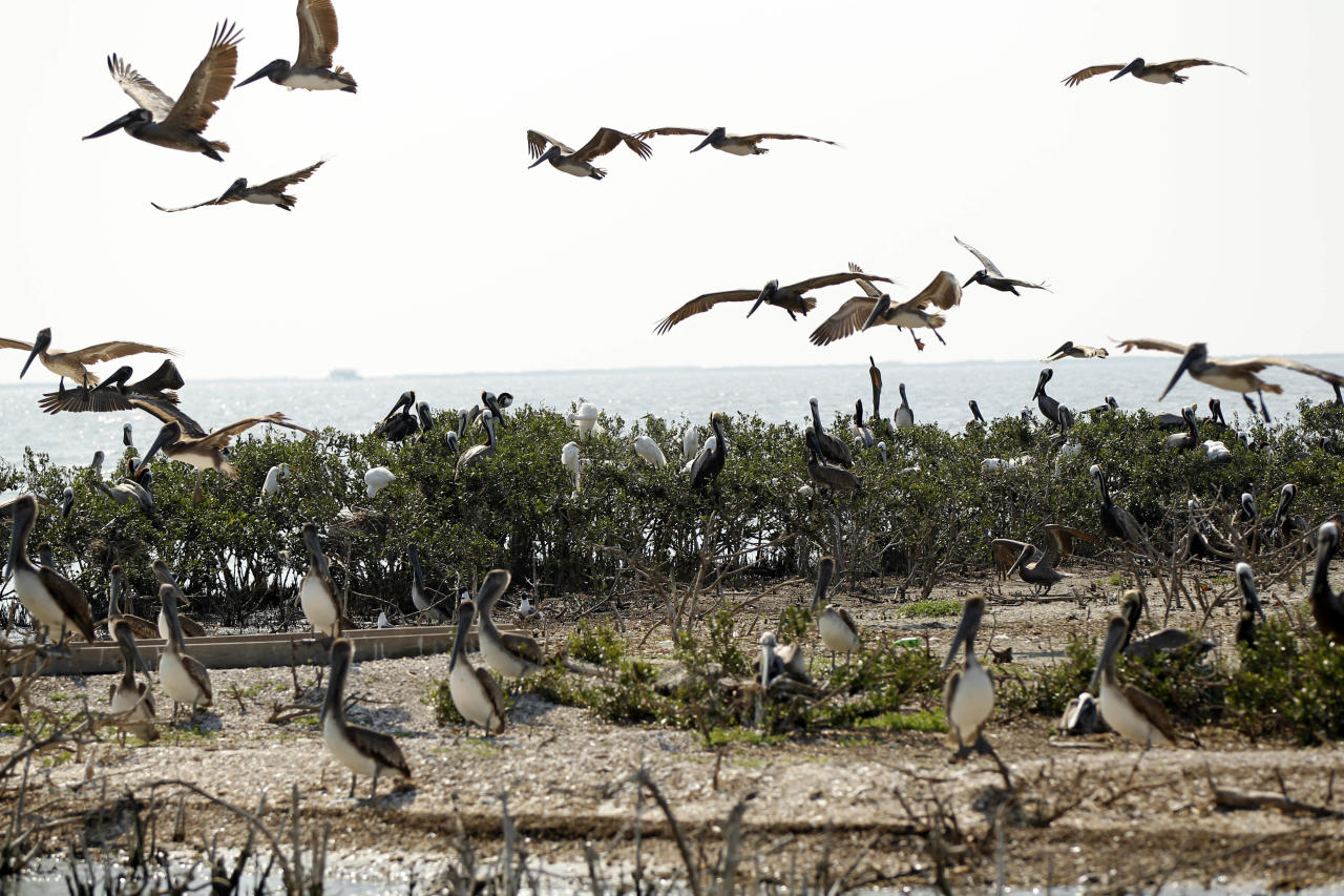 Pelicans sit on the earth where mangrove and marsh grass used to be, on Cat Island in Barataria Bay in Plaquemines Parish, La., Wednesday, April 11, 2012. (AP Photo/Gerald Herbert)