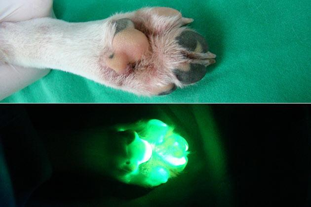 A combination image of undated handout pictures released to Reuters on July 28, 2011 shows the foot of a genetically modified dog Tagon under normal (L) and ultraviolet light (R) at Seoul National University (SNU)'s College of Veterinary Medicine in Seoul. South Korean scientists said on Wednesday, they have created a glowing dog using a cloning technique that could help find cures for human diseases such as Alzheimer's and Parkinson's, Yonhap news agency reported. A SNU research team said the genetically modified female beagle, named Tegon and born in 2009, has been found to glow fluorescent green under ultraviolet light if given a doxycycline antibiotic, the report said. The researchers, who completed a two-year test, said the ability to glow can be turned on or off by adding a drug to the dog's food. REUTERS/Seoul National University/Handout
