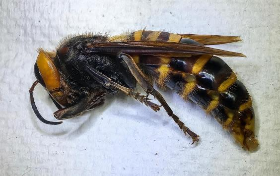 Side view of the so-called 'murder hornet', which represents a threat to honey bees in America (WSDA)