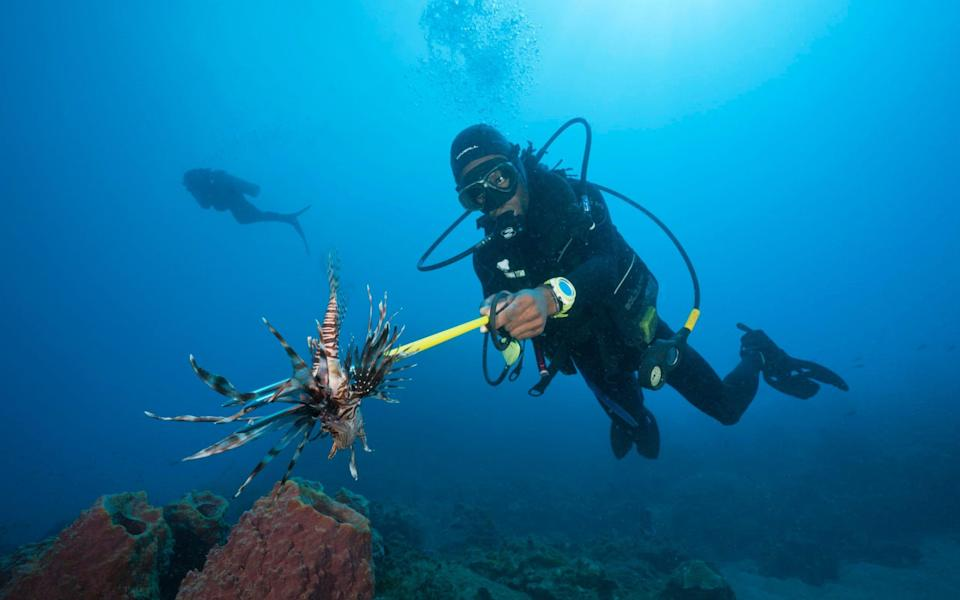 A diver spears a lionfish - Cyprus is organising regular hunts of the invasive species - Getty