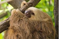 """<p>This super-chill animal seems to do nothing but nap, and even when they are awake they make very few unnecessary movements. How much do they really snooze? The World Wildlife Federation estimates <a href=""""https://www.worldwildlife.org/species/sloth"""" rel=""""nofollow noopener"""" target=""""_blank"""" data-ylk=""""slk:sloths sleep 15-20 hours a day"""" class=""""link rapid-noclick-resp"""">sloths sleep 15-20 hours a day</a>. Sounds pretty great, right? <br></p><p><strong>__________________________________________________________ </strong></p><p><em><a href=""""https://subscribe.hearstmags.com/subscribe/womansday/253396?source=wdy_edit_article"""" rel=""""nofollow noopener"""" target=""""_blank"""" data-ylk=""""slk:Subscribe to Woman's Day"""" class=""""link rapid-noclick-resp"""">Subscribe to Woman's Day</a> today and get <strong>73% off your first 12 issues</strong>. And while you're at it, <a href=""""https://subscribe.hearstmags.com/circulation/shared/email/newsletters/signup/wdy-su01.html"""" rel=""""nofollow noopener"""" target=""""_blank"""" data-ylk=""""slk:sign up for our FREE newsletter"""" class=""""link rapid-noclick-resp"""">sign up for our FREE newsletter</a> for even more of the Woman's Day content you want. </em></p>"""