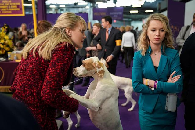 <p>Pointers and their handlers wait to compete at the 142nd Westminster Kennel Club Dog Show at The Piers on Feb.13, 2018 in New York City. (Photo: Drew Angerer/Getty Images) </p>