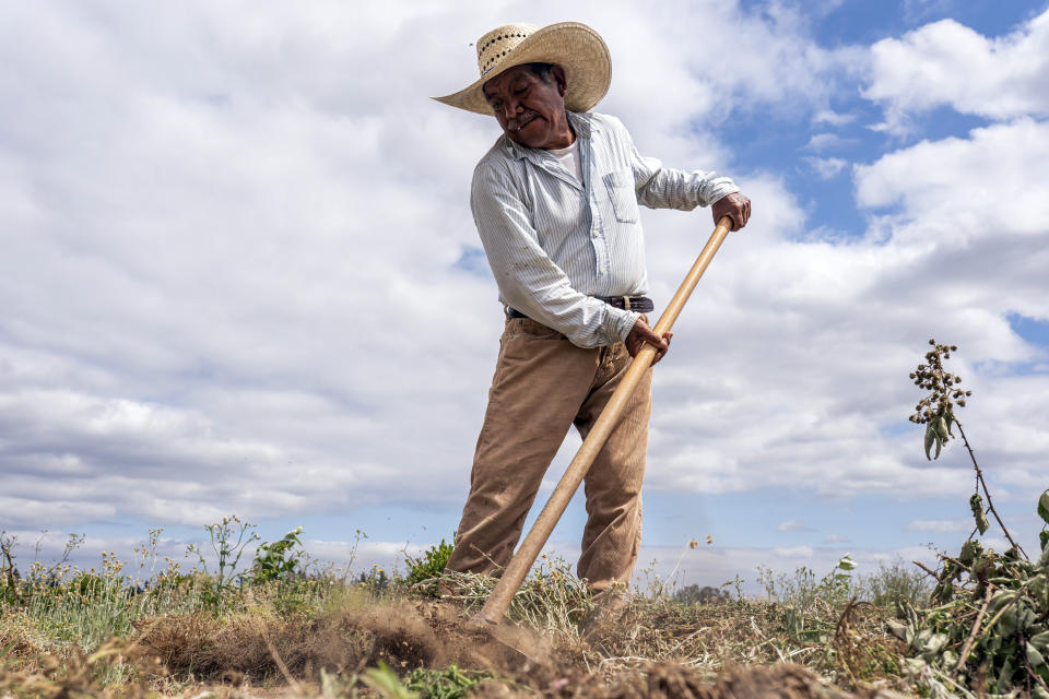 Baltazar Lucas, brother-in-law of farm worker Sebastian Francisco Perez who died last weekend while working in an extreme heat wave, breaks up earth, Thursday, July 1, 2021, near St. Paul, Ore. (AP Photo/Nathan Howard)