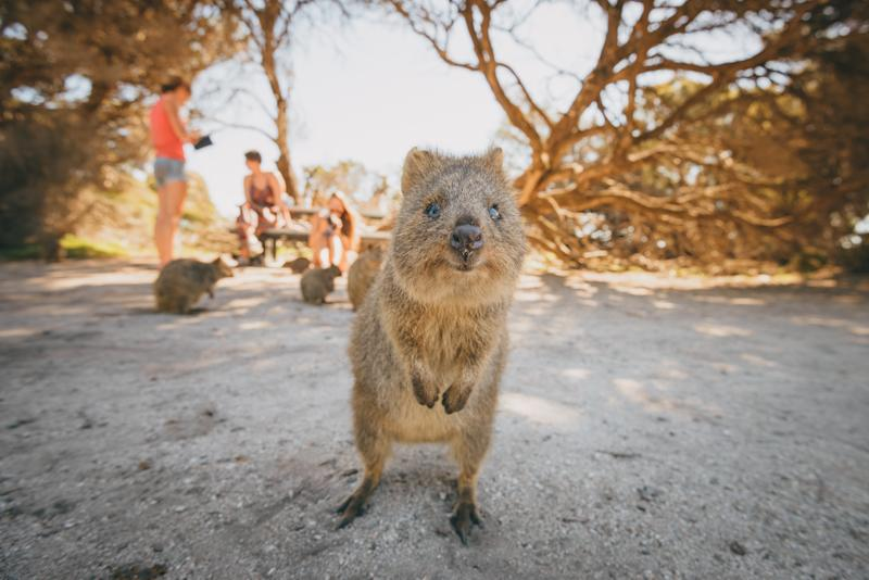 Quokkas on Rottnest Island near Perth, Australia