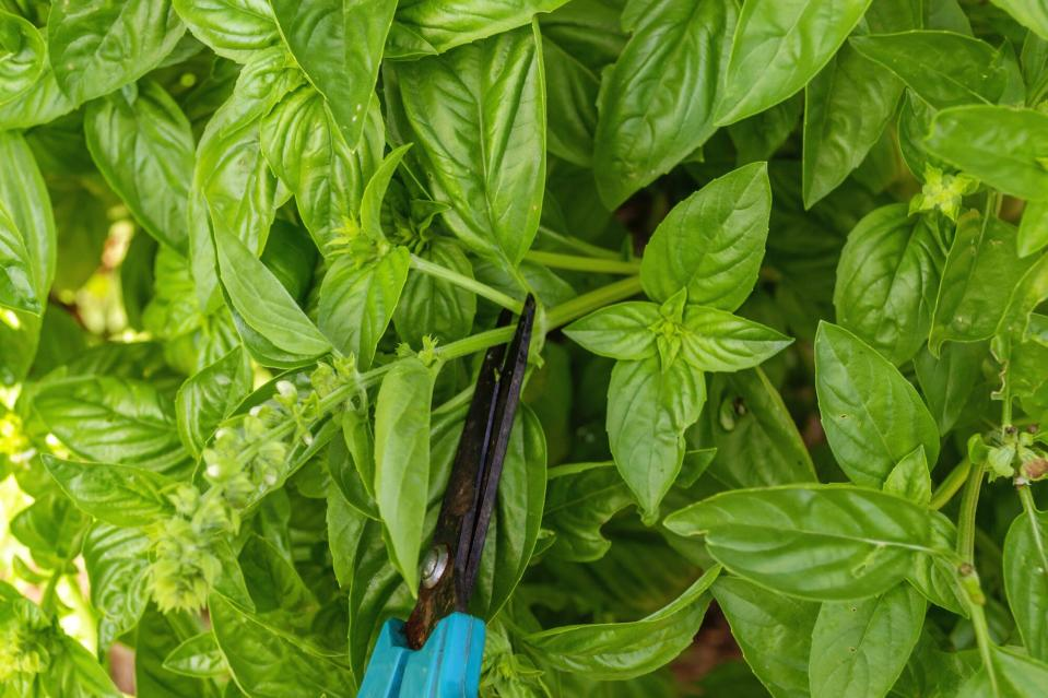Flowering Basil Plant in Herb Garden
