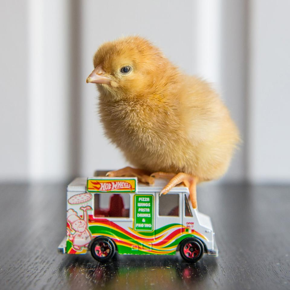 <p>A chick sits on a Hot Wheels food truck. (Photos: Alexandra C. Daley-Clark/sillychickens.com) </p>
