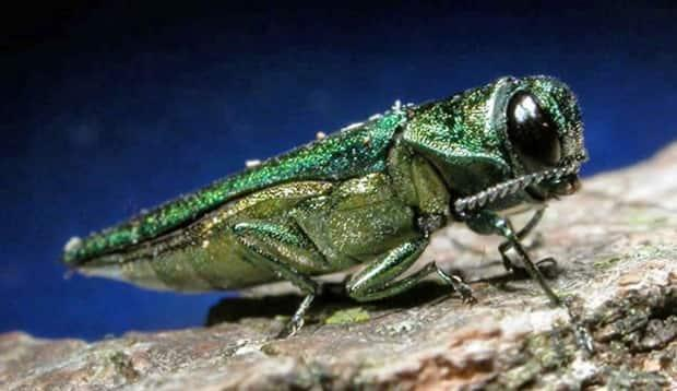 A monitoring campaign is currently underway across New Brunswick to track the presence of the emerald ash borer. (Minnesota Department of Natural Resources/The Associated Press - image credit)