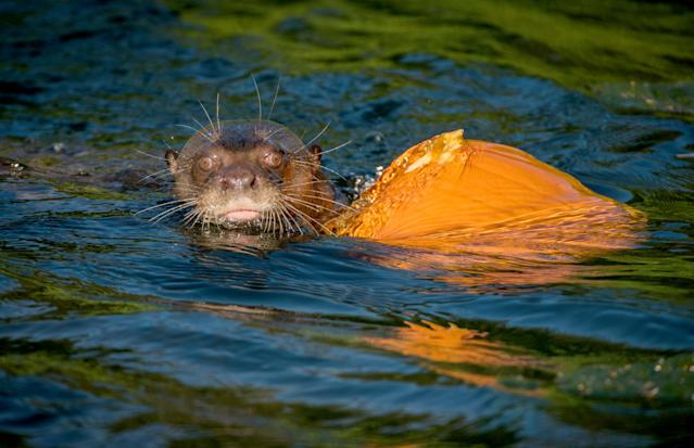 <p>Chester Zoo's giant otters go bobbing for pumpkins as keepers serve up lunch in carved pumpkins in Chester, Britain, on Oct. 17, 2017. (Photo: Chester Zoo/Caters News) </p>