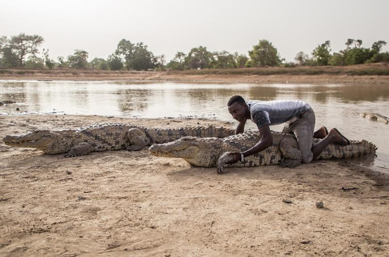 Give me a hug: Crocodiles in Bazoule are considered sacred. Local youths often sit on them, saying the crocodiles never attack them (AFP Photo/OLYMPIA DE MAISMONT)
