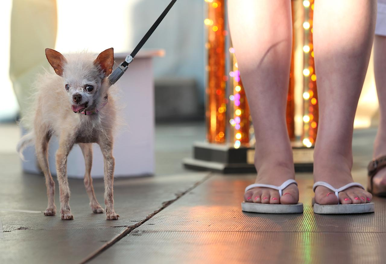 PETALUMA, CA - JUNE 24:  A dog named Yoda looks on during the 23rd Annual World's Ugliest Dog Contest at the Sonoma-Marin County Fair on June 24, 2011 in Petaluma, California.  Yoda won the $1,000 top prize as the world's ugliest dog.  (Photo by Justin Sullivan/Getty Images)