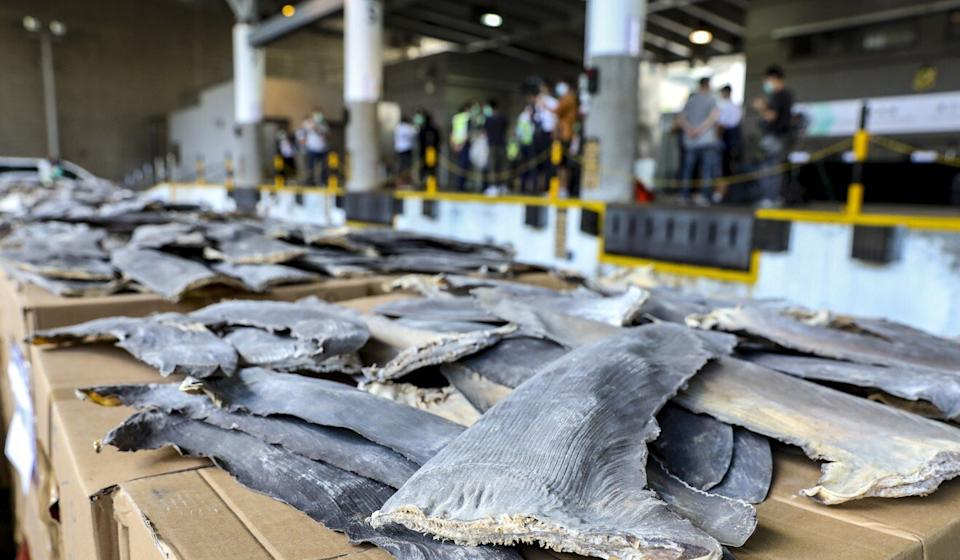 Law enforcers also noticed a surge in the seizure of dried shark fin this year, finding 31 tonnes with an estimated value of HK$11 million. Photo: Nora Tam