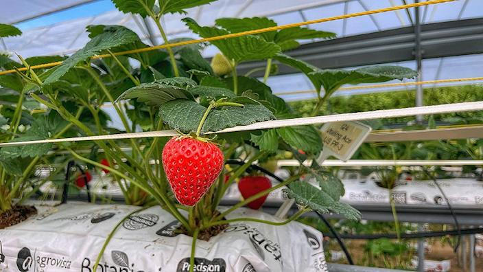 Farming strawberries at scale