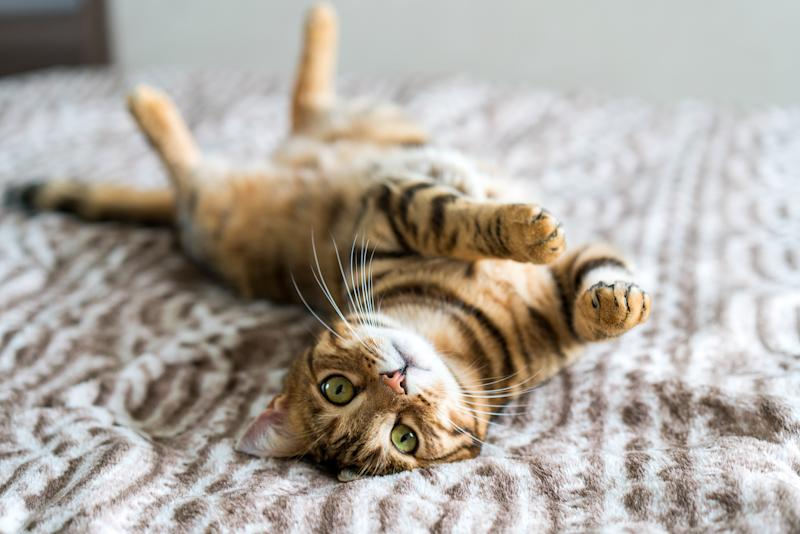 Cute bengal funny cat playing at home