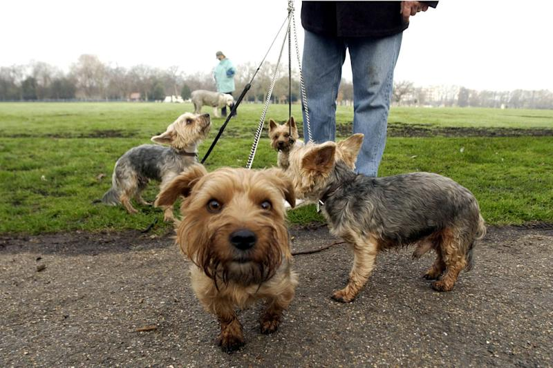Walkies: The number of dogs any one person can walk could be reduced to four: PA