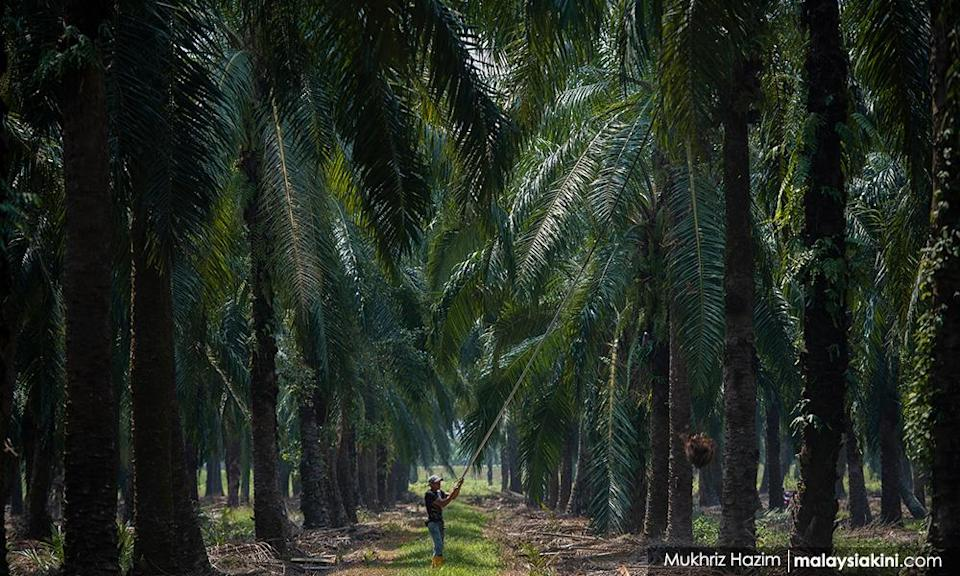Two MPs call for removal of windfall tax from oil palm sector