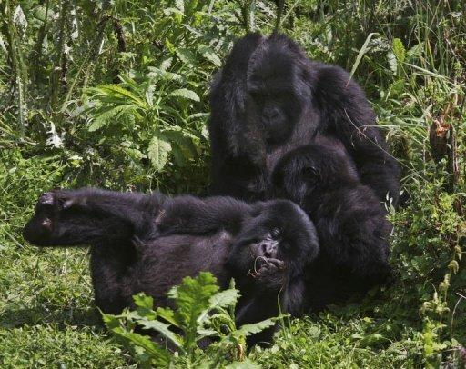 For ten years the number of mountain gorillas has shown a steady growth in the Virungas mountains