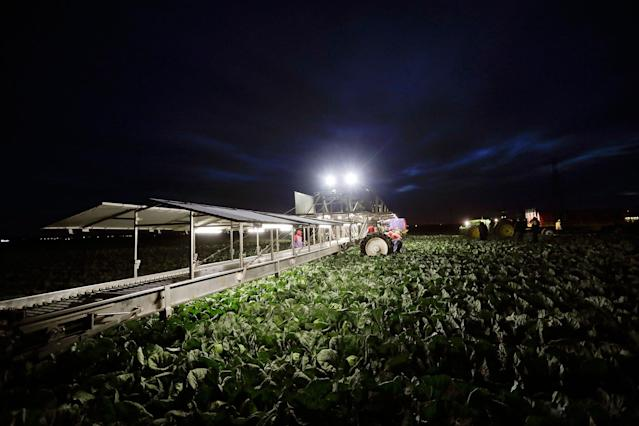 <p>Farmworkers harvest cabbage before dawn in a field outside of Calexico, Calif., March 6, 2018. (Photo: Gregory Bull/AP) </p>