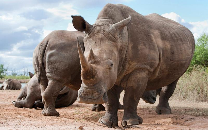 White rhinos in the Royal Hlane National Park, Swaziland, Africa. - Robert Harding World Imagery