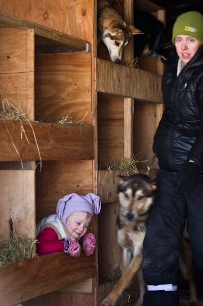Dallas Seavey's daughter, Annie, plays in her father's dog truck, while her mother, Jen Seavey, moves dogs out of the truck at the Iditarod Trail Sled Dog Race start, Sunday, March 2, 2014, in Willow, Alaska. (AP Photo/Anchorage Daily News, Marc Lester)