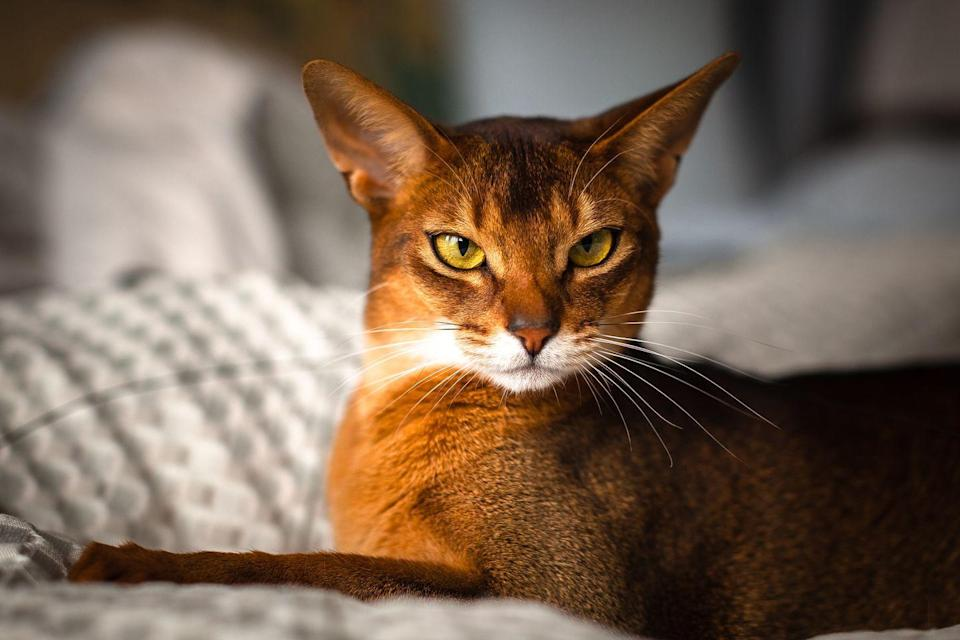"<p>The Abyssinian is a very <a href=""https://www.purina.com/cats/cat-breeds/abyssinian"" rel=""nofollow noopener"" target=""_blank"" data-ylk=""slk:curious cat"" class=""link rapid-noclick-resp"">curious cat</a>, reports Purina. They also like to take any item that sparks their interest, so you better keep your things well-hidden.</p>"