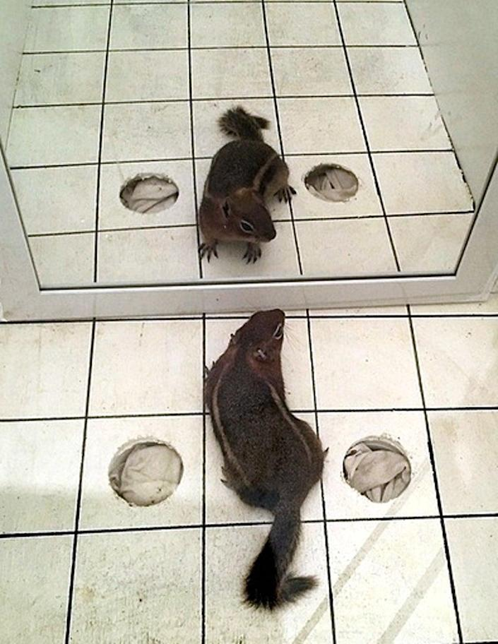 Squirrel assessed using mirror image stimulation test (Jaclyn Aliperti)